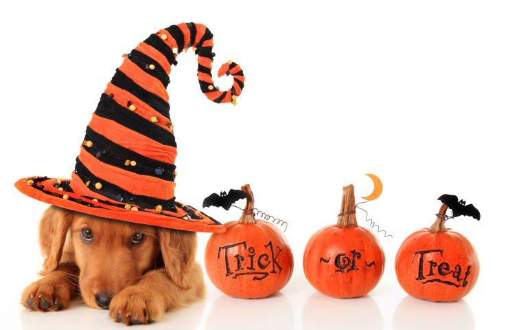 Halloween Dog in Hat